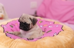 There are never any good picture for this show, so here's a pug on a big donut
